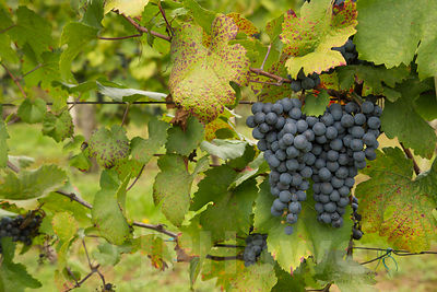 Bunches of Ripe Grapes on Vines