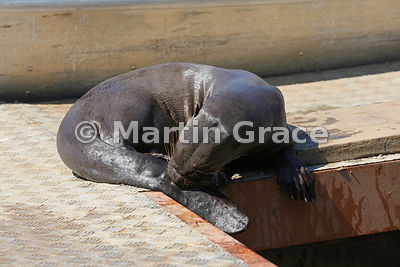 A female Giant River Otter (Pteronura brasiliensis) grooming herself while resting on the jetty at Porto Jofre, Mato Grosso, Brazil