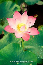 lotus flower in pond
