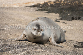 hawaiian_monk_seal_big_island_02062015-91