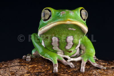 Waxy monkey tree frog (Phyllomedusa sauvagii) photos