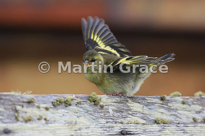 Female Black-Chinned Siskin (Carduelis barbata), Darwin, East Falkland