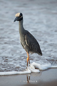 A yellow-crowned night-heron takes a walk on the beach of Floreana Island.