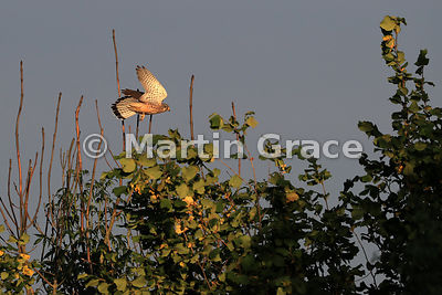 Common Kestrel (Falco tinnunculus tinnunculus) flying by bare branches of an Ash Dieback-affected tree (Fraxinus excelsior) with leaves of Hazel (Corylus avellana), Cumbria, England