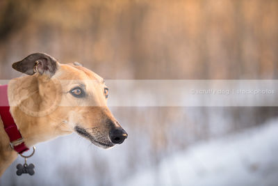 headshot of pretty fawn dog with minimal background