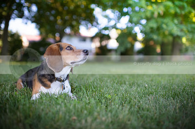 tricolor beagle dog looking skyward lying in park grass