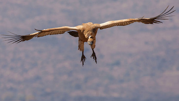 Magaliesberg Cape Vultures photos