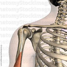 shoulder-labrum-labral-musculus-biceps-brachii-muscle-tendon-front-skin
