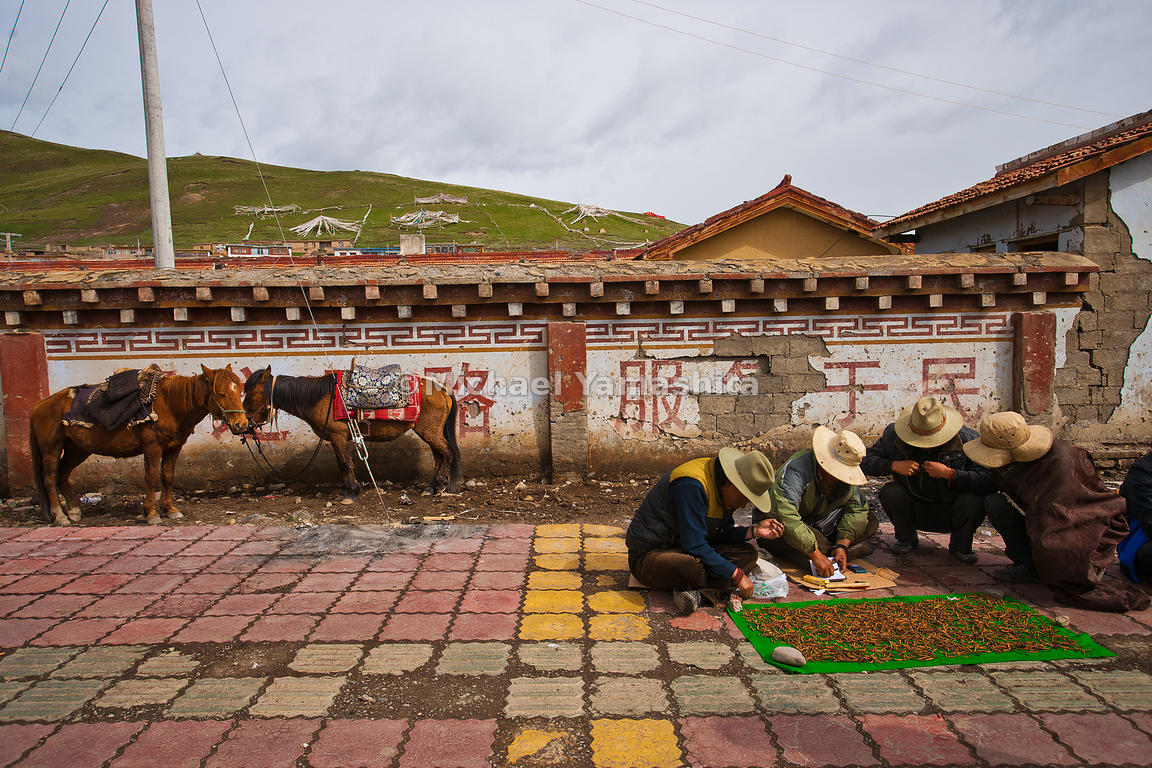 Nomads gather in Serxu, the world's highest town at 13,600 ft (4,150 m) to clean and display their wares, their trusty Tibetan ponies unaware that they are fast becoming obsolete.