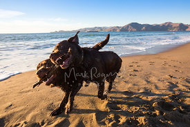 Close-up of Two Chocolate Labradors Running with a Stick in the Surf