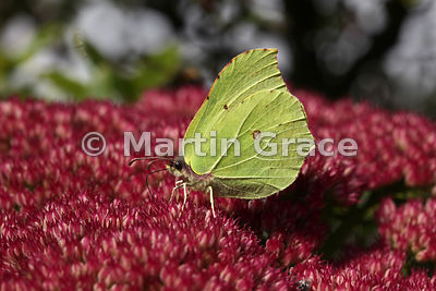 Under side of a Brimstone butterfly (Gonopteryx rhamni) feeding on Sedum spectabile in an English garden