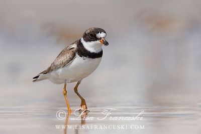 Semipalmated Plovers Shorebirds
