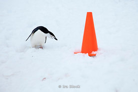A chinstrap penguin looking at a road cone.