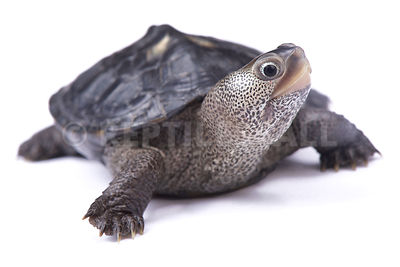 Northern diamondback terrapin (Malaclemys terrapin terrapin) photos