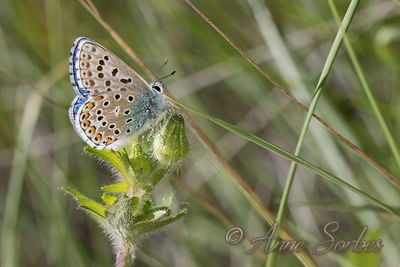 Adonis Blue (Lysandra bellargus) photos