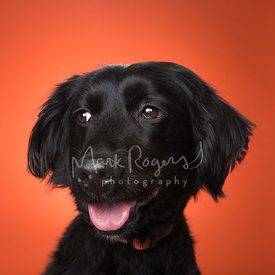 Side View Close-Up Black Dachshund Mix Dog Against Orange Background