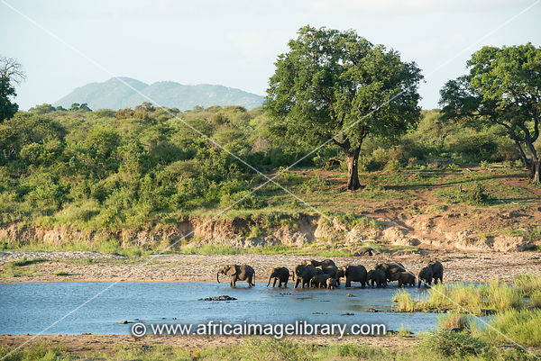 Elephants drinking at the Sabie River, Loxodonta africana, Kruger National Park, South Africa