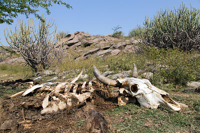 Cow skeleton near a watering hole in the desert, Ajaypal, Rajasthan, India