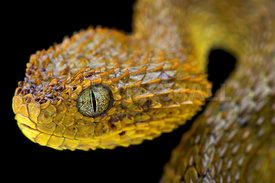 Cameroon bush viper (Atheris broadleyi)