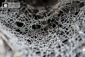 Spider's web with dews.