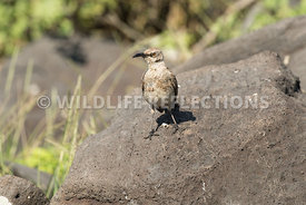 galapagos_mockingbird_rock-1