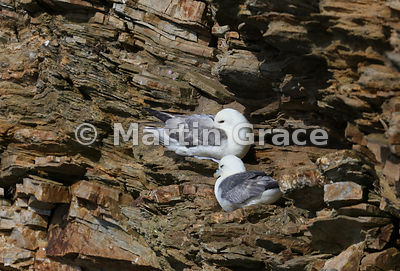 Nesting pair of Northern Fulmars (Fulmarus glacialis) on the cliff at Hermaness National Nature Reserve, Unst, Shetland