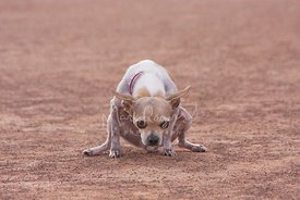 Tan Chihuahua Squatting on Ground with Funny Expression