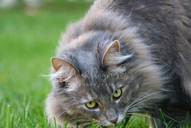 Grey Maine Coon Cat Looks Up from Grass