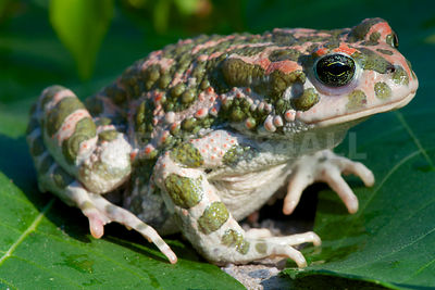 Green toad (Bufo viridis) photos