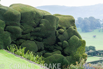 Massive undulating yew hedge at Powis Castle Gardens
