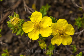 Shrubby Cinquefoil on Mount Townsend in Olympic National Forest