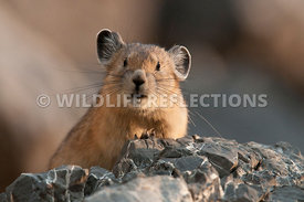 pika_expression_4