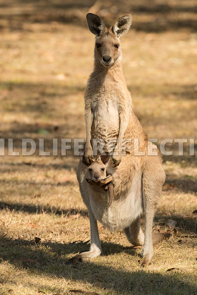 kangaroo_eastern_grey_pouch_joey-12