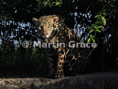 Male Jaguar (Panthera onca) known as Marley, in early morning dappled sunlight and looking directly at the photographer, River Cuiabá, Northern Pantanal, Mato Grosso, Brazil; Image 1 of 3
