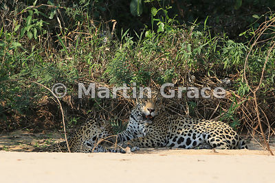 Female Jaguar (Panthera onca) 'Hunter' and male 'Hero' (right) lie down close to each other in partial shade, Three Brothers River, Northern Pantanal, Mato Grosso, Brazil. Image 5 of 62; elapsed time 3mins