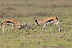 thomsons_gazelle_battle_6