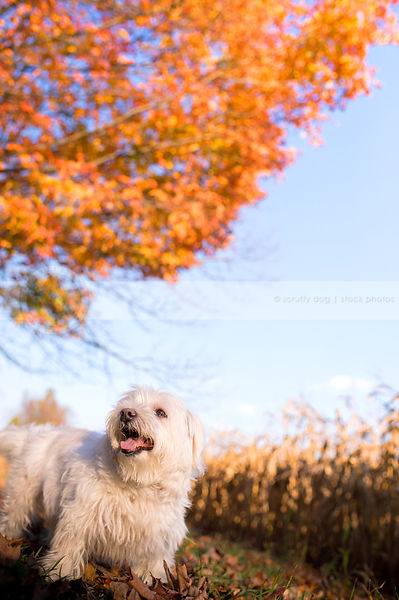 small white dog standing in autumn setting with tree