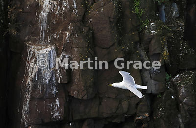 Black-Legged Kittiwake (Rissa tridactyla) in flight, flying past an empty cliff nest site, Hafnarholmi, Austurland (Eastern Region, East Iceland), Iceland