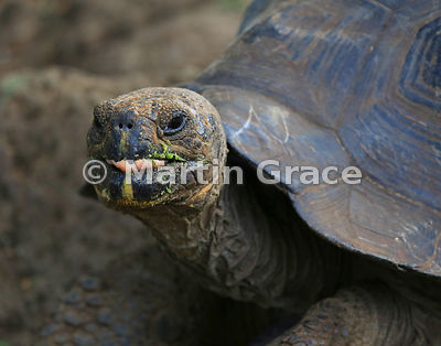 Young San Cristobal Giant Tortoise (Geochelone elephantopus chatamensis) at the Galapaguena de Cerro Colorado breeding station, San Cristobal