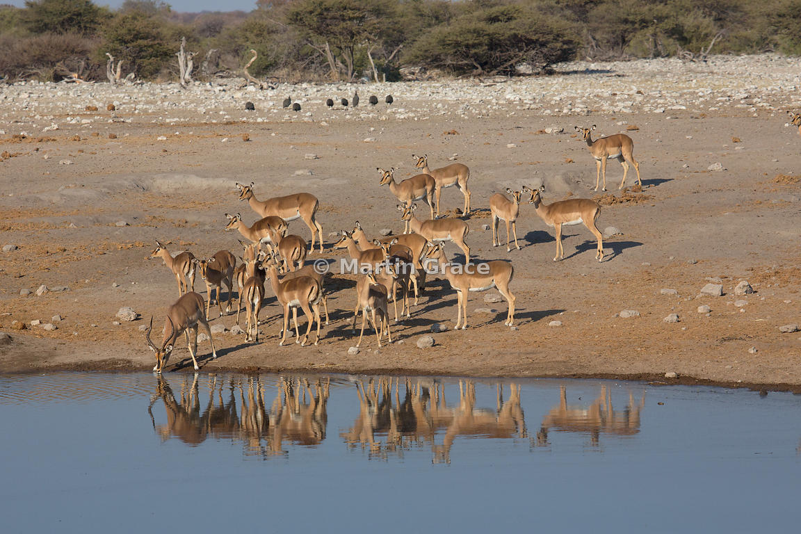 Black-Faced Impala (Aepyceros melampus petersi), Chudob waterhole, Etosha National Park, Namibia - herd of females waiting while the male drinks