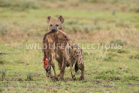 hyena_baby_wildebeest_kill_02162015-12-Edit