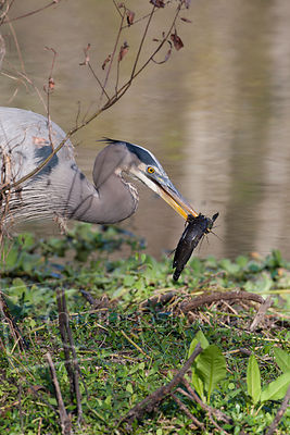 Great Blue Heron-1K9Z9347