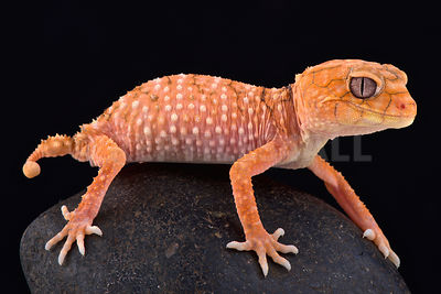Rough knob-tailed gecko (Nephrurus amyae) photos