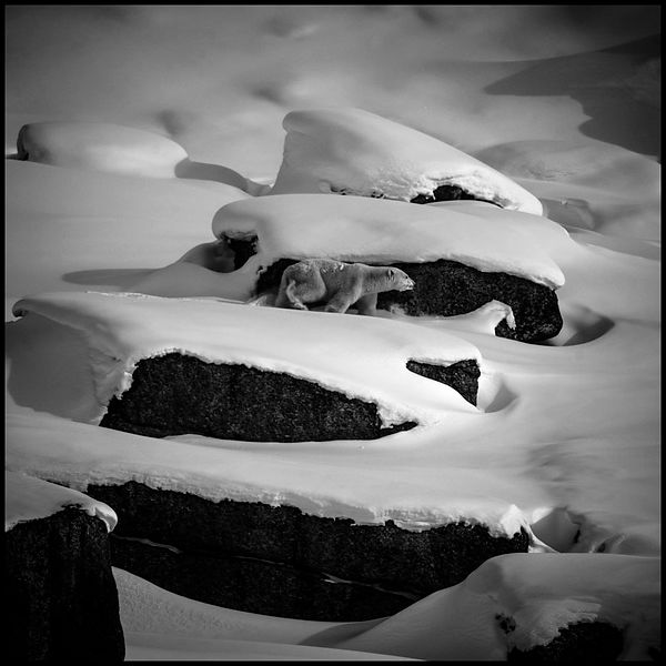 8879-Polar_bear_Baffin_Island_Canada_2016_Laurent_Baheux