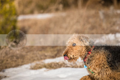expressive airedale terrier licking lips and walkng in field with snow