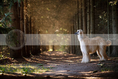 blond and black longhaired dog standing in pine trees