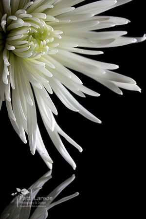 Delicate Reflection of a Chrysanthemum