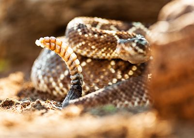 Poisonous South American Rattlesnake