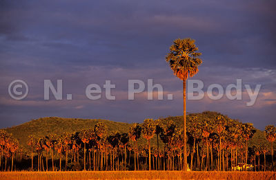 PAYSAGE, PALMIERS, CAMBODGE//PALM TREES, CAMBODIA