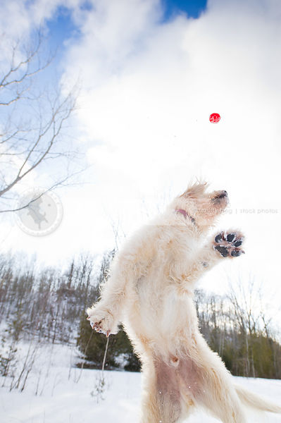 fun and crazy dog catching a red ball in winter field